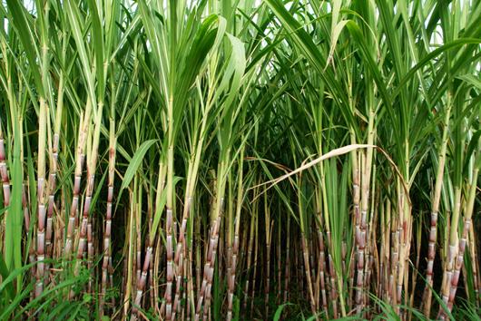 Image result for sugar cane